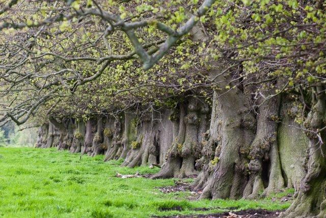 Ancient oaks - Thomas Quine via flickr CC BY-2.0