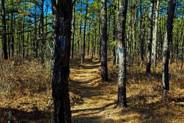 Pine Barrens - Jim Lukach via commons.wikimedia CC BY-SA 2.0