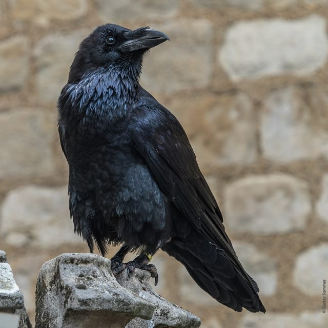 raven - gustavsommer via pixabay